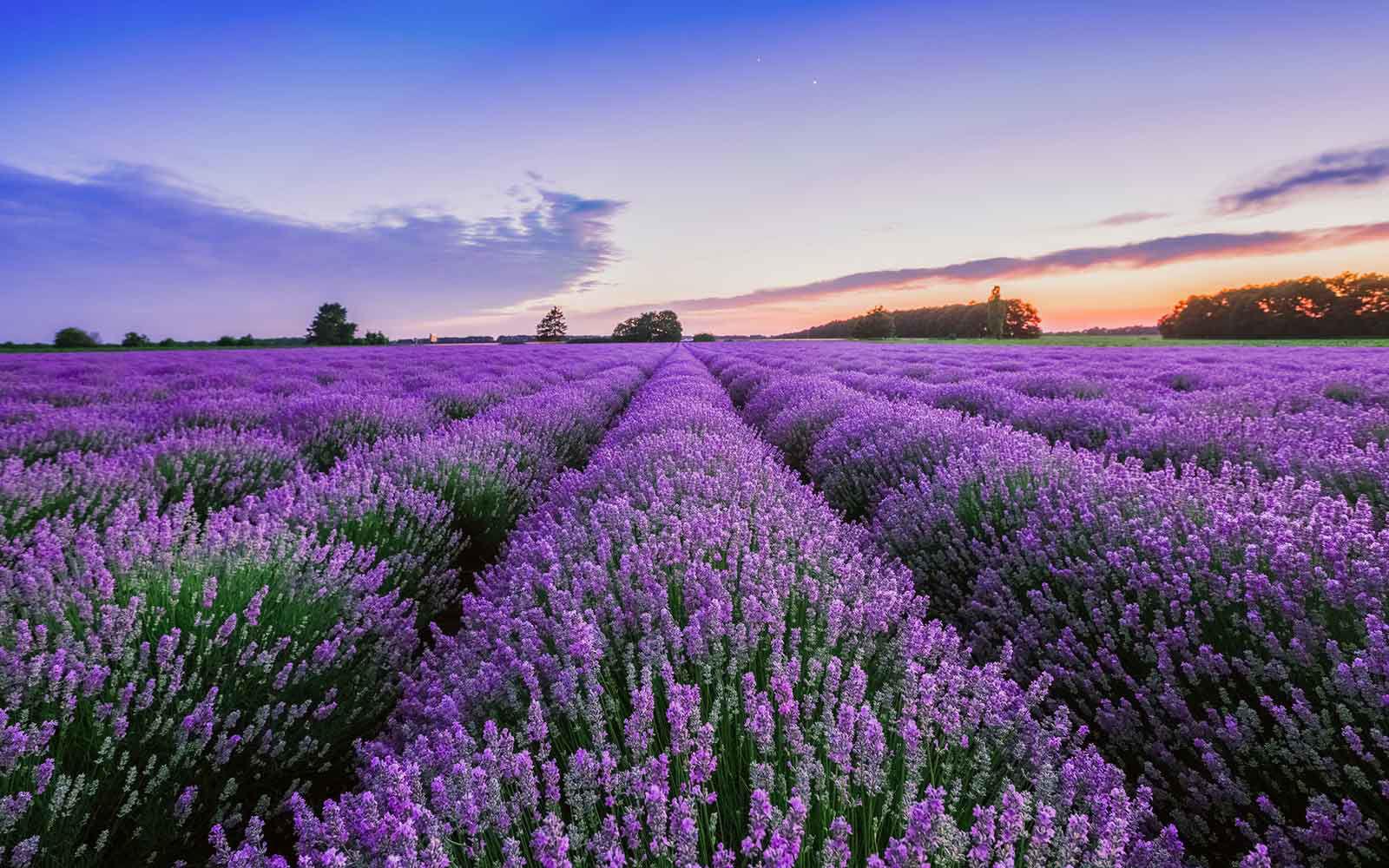 lavendar farm in turkey