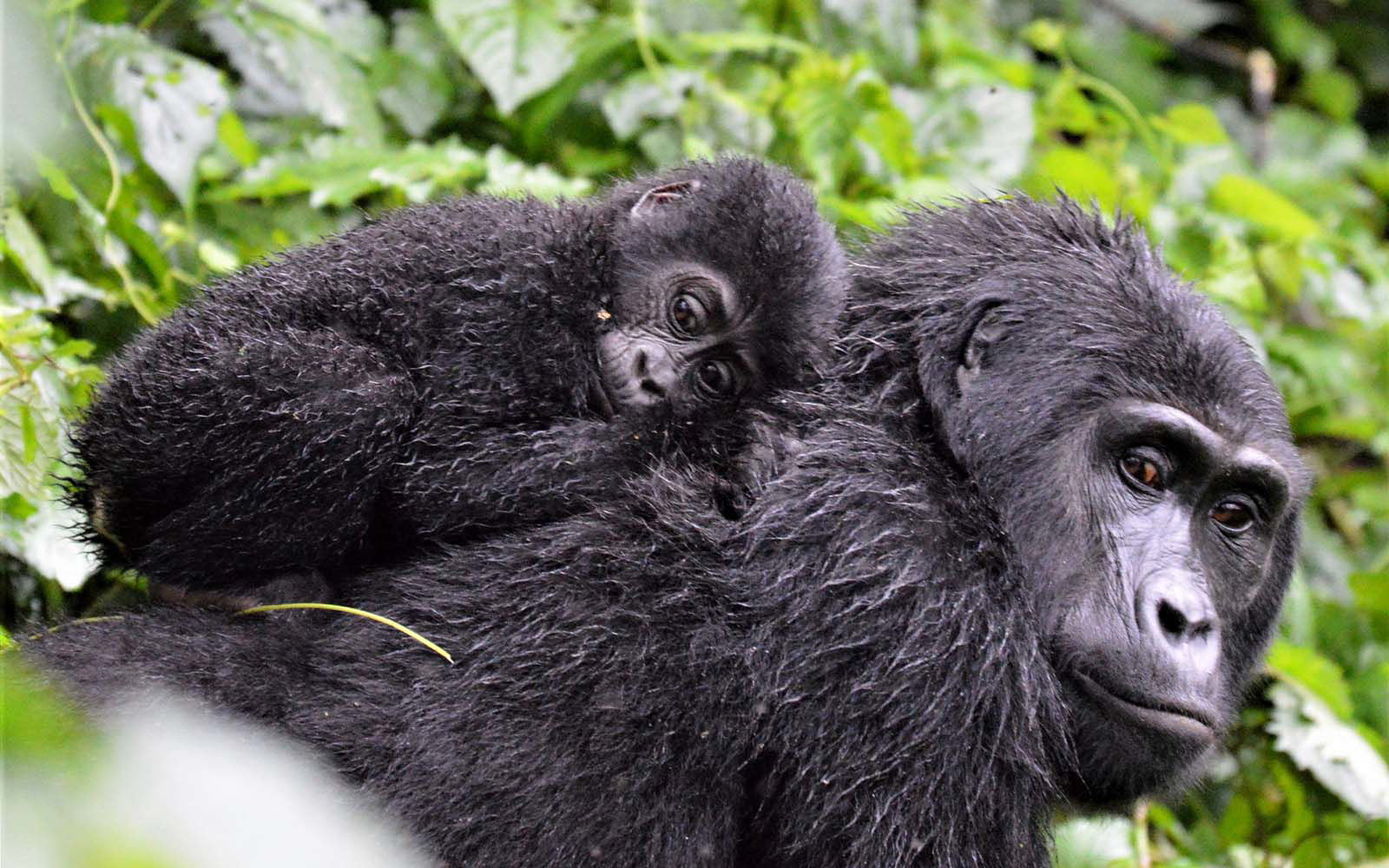 mother and with baby gorilla on her back